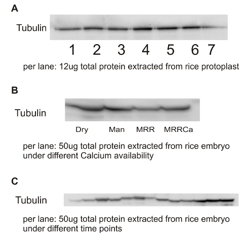 western blot using anti-tubulin alpha antibody on rice embryo