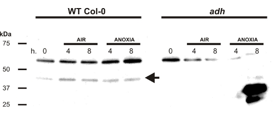 western blot using anti-plant ADH antibodies