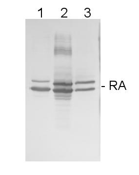 western blot using Rubisco activase antibody