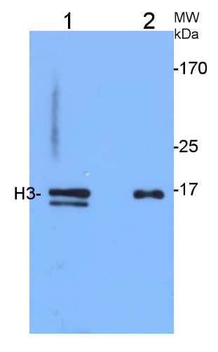 western blot using anti-plant H3, histone 3 antibodies