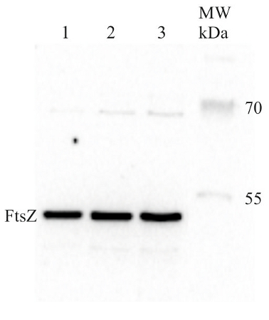 western blot using anti-procaryotic FtsZ antibody
