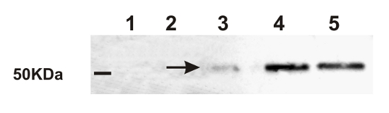 western blot detection  of Ramy3D in rice
