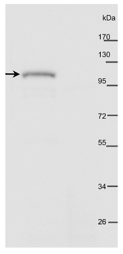 western blot using anti-AtPHOT2 antibodies