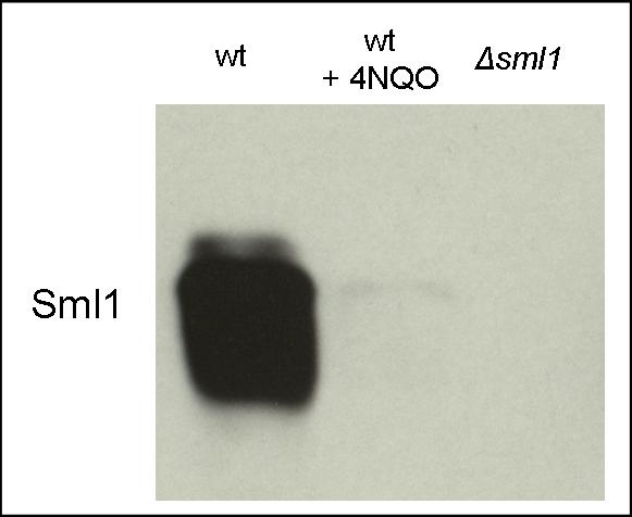 western blot detection of Sml1