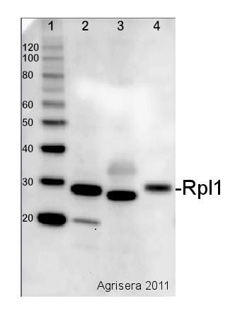 western blot detection using cyanobacterial anti-Rpl1 antibody