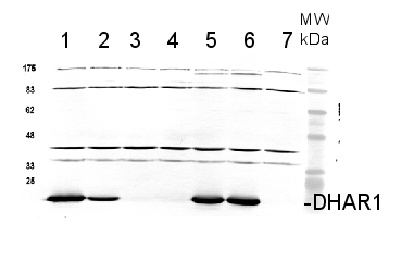 western blot using DHAR1 antibodies