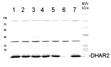 western blot using DHAR2 antibodies