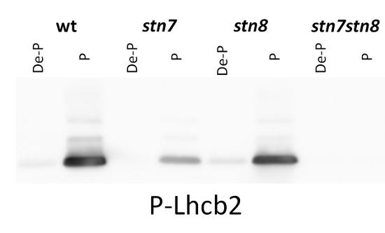 western blot using anti-phosphorylated Lhcb2 antibodies