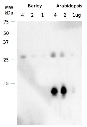 western blot using anti-Curt1A antibodies