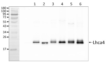 Western blot using anti-Lhca4 antibodies