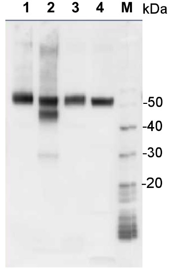 western blot with chicken anti-RbcL antibodies