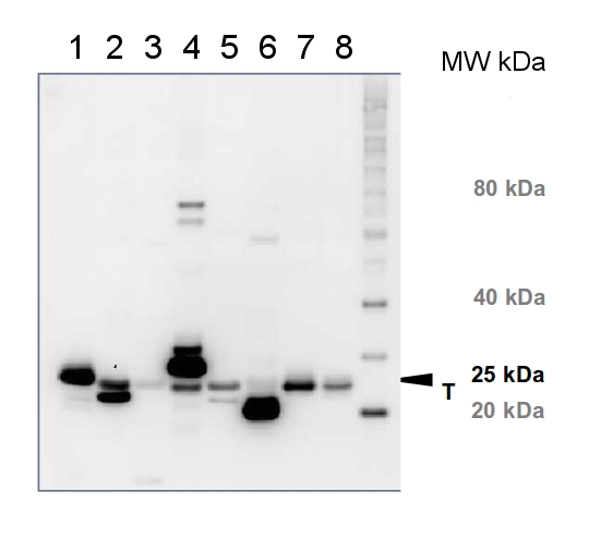 western blot using anti-Lhcb1 antibody