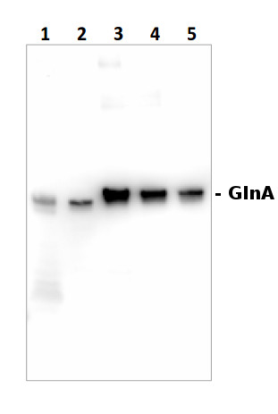 western blot using anti-GlnA antibodies on cyanobacterial sampls