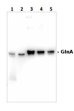 western blot using anti-GlnA antibodies on cyanobacterial sampls