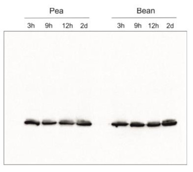Western blot using anti-Lhcb2 antibodies