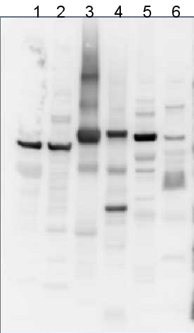 western blot using anti-AtpB antibodies