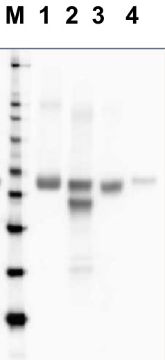 western blot using directly HRP-conjugated anti-RbcL antibodies