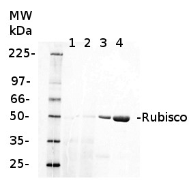fluorescent western blot detection of Rubisco