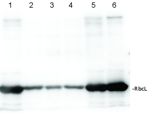 western blot using affinity purified anti-RbcL antibodies
