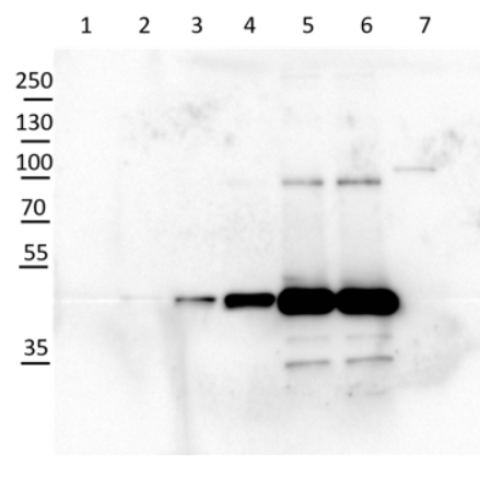 Western blot using anti-cFBPase antibodies