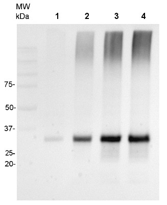 Western blot using anti-AOX1/2 antibodies