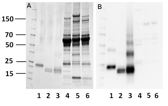 western blot using anti-mouse bikunin antibody