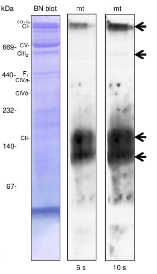 western blot using anti-plant AOX antibodies in native BN