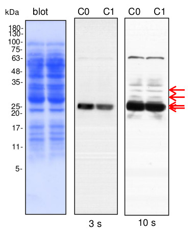 western blot using anti-plant AOX antibodies