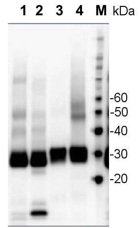 western blot using affinity purified anti-PsbA antibodies