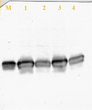 western blot using anti-Fdx antibodies on Chlamydomonas extracts