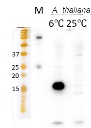 Western blot using anti-Elip global antibodies, on Arabidopsis thaliana