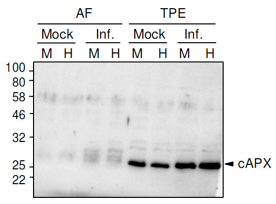 Western blot using anti-cAPX antibodies on tomato samples