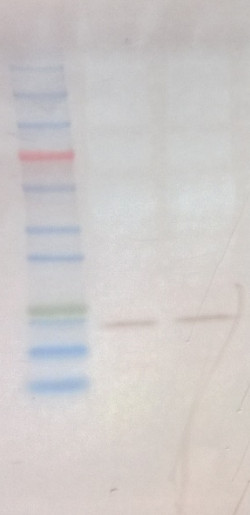 western blot using anti-Elip Global antibodies