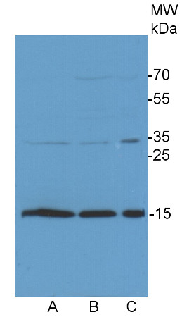 western blot using anti-COXIIb antibodies on Chlamydomonas cell extracts