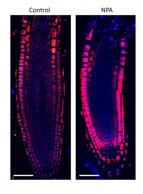 immunolocalization of auxin in plant tissue