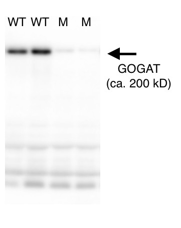 western blot using anti-GOGAT antibodies on Arabidopsis thaliana