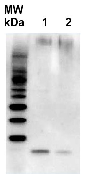 Western blot using anti-RbcS antibodies