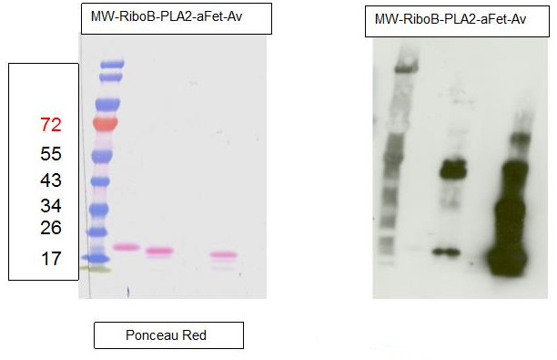 western blot using anti-fucose antibodies