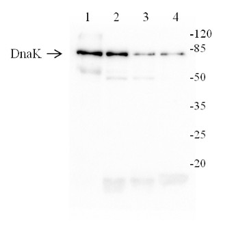 western blot using anti-Chlamydomonas DnaK antibodies