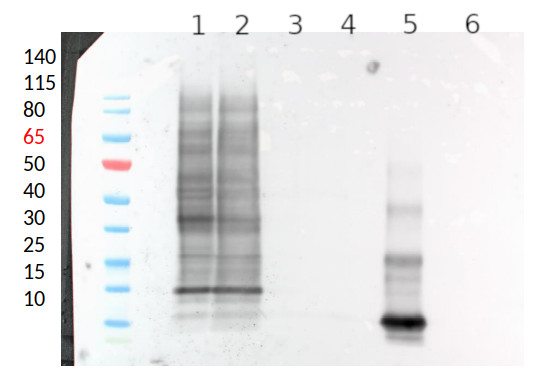 Western blot using anti-xylose antibodies