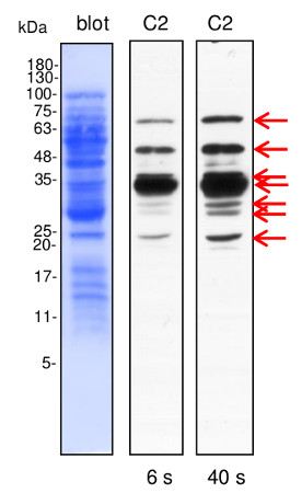 western blot using affinity purified anti-dehydrin antibodies