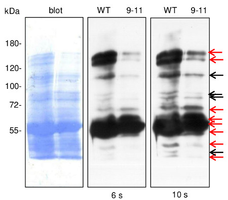 western blot using anti-dehydrin antibodies on nuclear fraction
