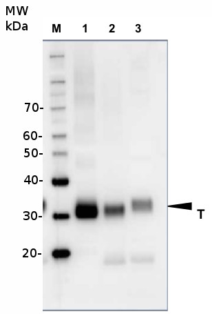western blot using plant anti-V-ATPase antibodies