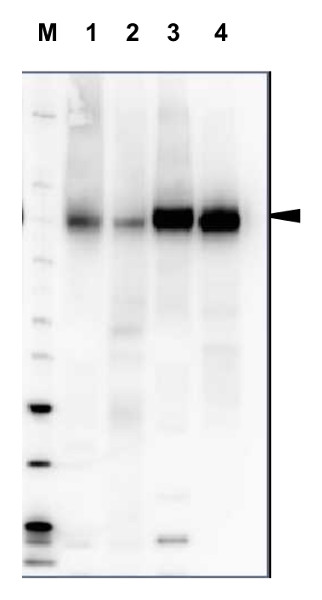 western blot using plant anti-H+ATPase antibodies