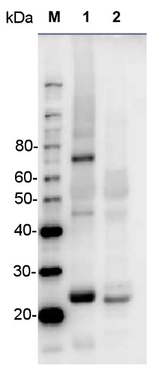 western blot using anti-ZEP antibodies