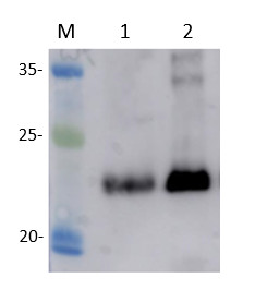 Western blot using anti-Arf1 antibodies on Cucumis melo.