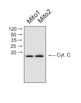 western blot using affinity purified anti-cytochrome c antibodies