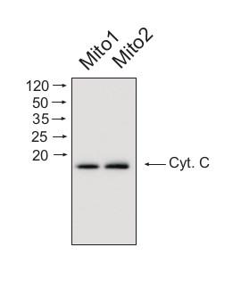 Western Blot Using Affinity Purified Anti Cytochrome C