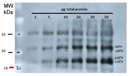 Western blot using anti-APX antibodies