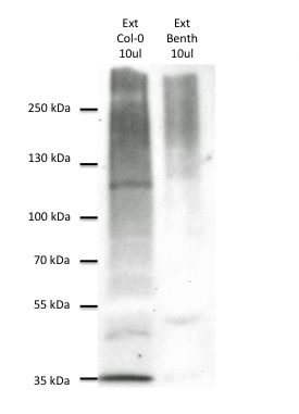 western blot using affinity purified anti plant ubiquitin antibody